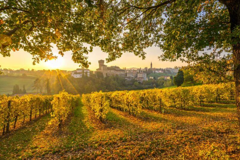 italian vineyard - learning italy